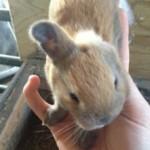 Hier zie je een konijntje met een Microtie van zijn linkeroor.
